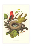 Scarlet Tanager Nest and Eggs Art