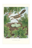 Yellow-Billed Cuckoo Affiches