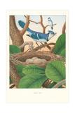 Geais bleus Affiches
