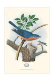 Eastern Bluebird Nest and Eggs Poster
