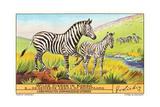 Zebras in the Congo Art