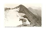 Rocky Mountain Goat, Glacier Giclée-Premiumdruck