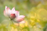 Lotus Flowers in Garden under Sunlight Fotoprint van  elwynn