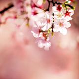 Spring Cherry Blossoms Fotografie-Druck von  NicholasHan