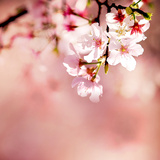 Spring Cherry Blossoms Photographic Print by  NicholasHan