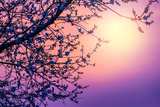 Cherry Tree Flower Blossom over Purple Sunset Lámina fotográfica por Anna Omelchenko