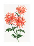 Orange Chrysanthemum Art by  Surovtseva