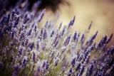 Beautiful Detail of a Lavender Field Reproduction photographique par  Curioso Travel Photography