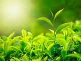 Green Tea Bud and Fresh Leaves, Tea Plantations, Nature of Kerala, India Fotografie-Druck von  f9photos