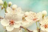 Cherry Blossoms Against a Blue Sky Reproduction photographique par  egal