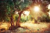 Mediterranean Olive Field with Old Olive Tree Fotografisk tryk af Subbotina Anna