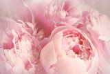 Closeup of Peony Flowers Fotoprint van  Sandralise