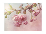 Pink Cherry Blossom Tree Print by  egal