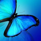 Blue Butterfly on Blue Background Lámina fotográfica por  suns_luck