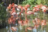 USA, Florida, Orlando. Flamingoes and White Ibis at Gatorland. Fotoprint van Lisa S. Engelbrecht