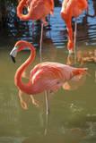 USA, Florida, Orlando. Pink Flamingos at Gatorland. Fotoprint van Lisa S. Engelbrecht