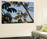A Toco Toucan Feeds in a Tree Near Iguazu Falls at Sunset Wall Mural by Alex Saberi