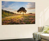 Ling (Calluna Vulgaris) and Bell Heather (Erica Cinerea) Blooming on Heathland, New Forest Np, UK Wall Mural by Guy Edwardes