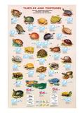 Turtles and Tortoises Plakat