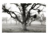 Oak Tree in the Fog Affischer av Shane Settle