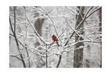 Cardinal on Snow Covered Trees Reproduction photographique par Henri Silberman