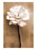 White Rose in Sepia Print by Christine Zalewski