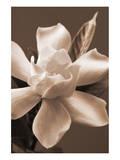 Magnolia in Sepia Poster by Christine Zalewski