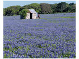Bluebonnets Shed Print by Danny Burk