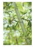 Bamboo I Posters av Karin Connolly