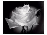 Dianne's Rose (black and white) Print by Scott Peck
