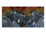 Zebras Posters by Melinda Bradshaw