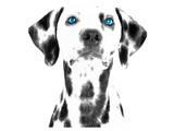 Dalmatian Date VI Plakat