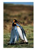 Penguins Falling Asleep Plakater