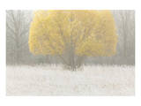 Willow in Fog Print by Mike Grandmaison