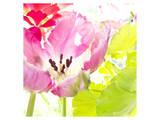 Pink Parrot Tulip Poster von Judy Stalus