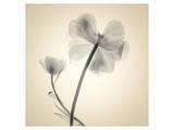 Tulipes II Poster par Judy Stalus