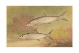 Painting of Silver Bone-Fish Giclée-tryk af Hashime Murayama