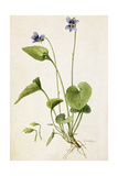 A Painting of a Sprig of Marsh Blue Violet and its Blossom Giclée-tryk af Mary E. Eaton
