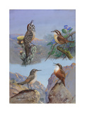 A Painting of Several Wren Species Reproduction procédé giclée par Allan Brooks