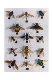 Collection of Various Two-Winged Flies Reproduction photographique par Edwin L. Wisherd