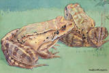 """The """"Mountain Chicken"""" Is an Edible Species of Frog Giclee Print by Hashime Murayama"""