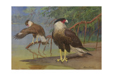 A Painting of an Adult and an Immature Audubon's Caracara Reproduction procédé giclée par Allan Brooks