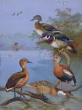 A Painting of Several Species of Ducks Reproduction procédé giclée par Allan Brooks