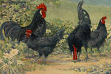Four Blue Andalusian Chickens, or Historically Blue Minorca Chickens Giclée-tryk af Hashime Murayama