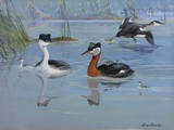 A Painting of Two Species of Grebe and their Chicks Reproduction procédé giclée par Allan Brooks