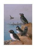A Painting of Four Different Species of Auklet Reproduction procédé giclée par Allan Brooks