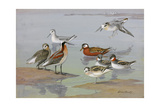 A Painting of Three Species of Phalaropes Reproduction procédé giclée par Allan Brooks
