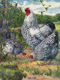 Three Silver-Laced Wyandottes Peck the Earth Reproduction procédé giclée par Hashime Murayama