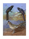 A Painting of a Smooth-Billed Ani, Groove-Billed Ani and a Roadrunner Reproduction procédé giclée par Allan Brooks