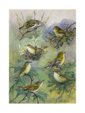 Painting of Several Species of Vireos Sitting on Tree Branches Reproduction procédé giclée par Allan Brooks